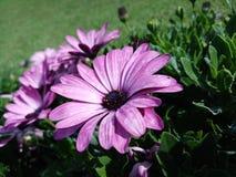 Att bedöva afrikanska tusenskönor blommar med purpurfärgade kronblad och mitt- blått royaltyfria foton