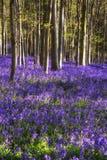 Att bedöva blåklocka blommar i vårskoglandskap Royaltyfri Foto