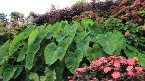 Att blomma blommar med gröna Caladiumsidor royaltyfria bilder