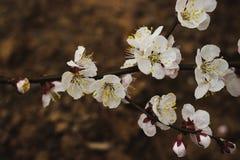 Att blomma förgrena sig av aprikosen arkivfoton