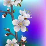 Att blomma förgrena sig av aprikosen Vektor Illustrationer