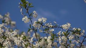 Att blomma förgrena sig på bakgrund för blå himmel stock video