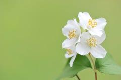 Att blomma fattar av jasmin på en solig dag Fotografering för Bildbyråer