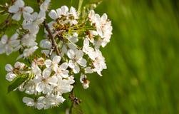 Att blomma fattar av körsbäret på en suddig grön bakgrund med härlig bokeh arkivfoto