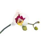 Att blomma fattar prickiga orkidér isoleras på den vita backgrounen Royaltyfri Fotografi