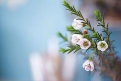 Att blomma filialer med vaxet blommar (den Chamaelaucium uncinatumen) Royaltyfri Fotografi
