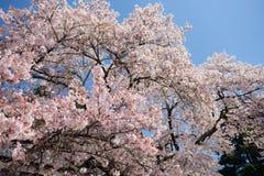 Att blomma sakura blommar i vår Arkivbilder