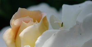 att blomma steg Arkivfoton