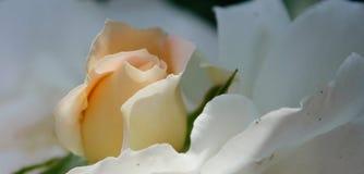 att blomma steg Arkivfoto