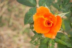 Att blomma steg i trädgård Royaltyfri Bild