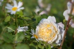Att blomma steg i trädgården på en solig dag David Austin Rose Crocus Rose Royaltyfri Foto