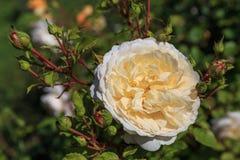 Att blomma steg i trädgården på en solig dag David Austin Rose Crocus Rose Arkivfoto