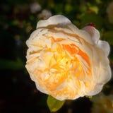 Att blomma steg i trädgården på en solig dag David Austin Rose Crocus Rose Royaltyfri Fotografi
