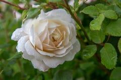 Att blomma steg i trädgården på en solig dag David Austin Rose Crocus Rose Arkivfoton