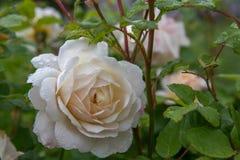 Att blomma steg i trädgården på en solig dag David Austin Rose Crocus Rose Royaltyfria Bilder