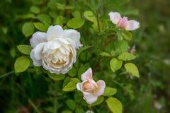 Att blomma steg i trädgården på en solig dag David Austin Rose Crocus Rose Royaltyfri Bild