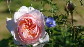 Att blomma steg i trädgården på en solig dag David Austin Rose Gentle Hermione Arkivfoton