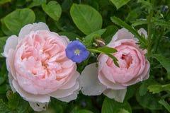 Att blomma steg i trädgården på en solig dag David Austin Rose Gentle Hermione Fotografering för Bildbyråer
