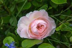 Att blomma steg i trädgården på en solig dag David Austin Rose Gentle Hermione Arkivbilder