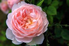 Att blomma steg i trädgården på en solig dag David Austin Rose Gentle Hermione Royaltyfria Bilder