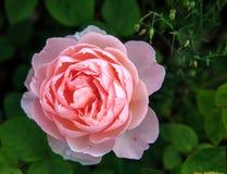 Att blomma steg i trädgården på en solig dag David Austin Rose Gentle Hermione Royaltyfri Fotografi