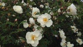 Att blomma steg i vinden stock video