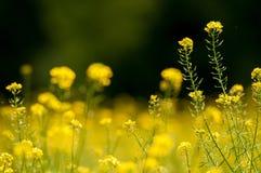 Att blomma våldtar fältet arkivfoton