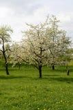Att blomstra äppleträdet, baden Arkivfoton