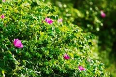 Att blomstra den Rosa caninabusken som gemensamt var bekant som hunden, steg Arkivfoto