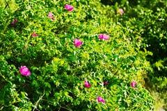 Att blomstra den Rosa caninabusken som gemensamt var bekant som hunden, steg Arkivbilder