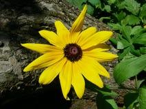 Att blomstra echinaceaen poserar, utan att förvänta uppmärksamhet från personen Arkivfoto