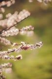 Att blomstra fattar av plommon-träd Arkivbild