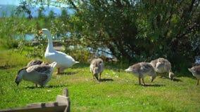 Att bry sig gåsen med litet behandla som ett barn gässlingar som fritt går på djur ranch Lycklig fågelfamilj för gullig lycklig b lager videofilmer