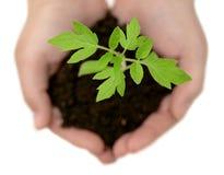 att bry sig händer planterar litet Fotografering för Bildbyråer