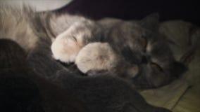 Att bry sig matande kattungar för katt lager videofilmer