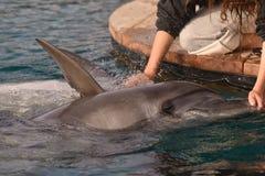 Att bry sig om delfin Arkivfoton