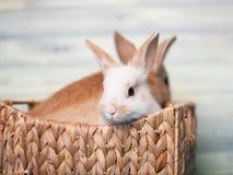 Att charma behandla som ett barn kaniner i en korg Arkivfoto