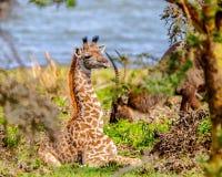Att dölja bland buskarna - behandla som ett barn den Massai giraffet Arkivbilder