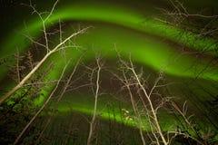Att dansa norrsken virvlar runt taigaaspträd Arkivfoto