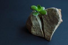 Att dela för växt vaggar royaltyfria foton