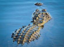 Att dra sig tillbaka 'alligatorn Royaltyfria Bilder
