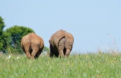 Att dra sig tillbaka Rhinos Fotografering för Bildbyråer