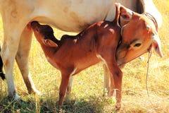 Att dricka för kalv mjölkar Fotografering för Bildbyråer