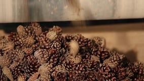 Att erhålla frö från kottarna av granen och sörjer lager videofilmer