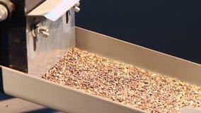 Att erhålla frö från kottarna av granen och sörjer stock video