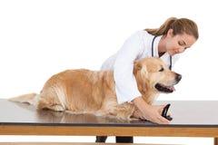 Att fästa ihop för veterinär labradors spikar Royaltyfria Foton