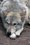 Grå färgwolf Arkivbilder