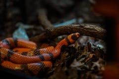 Att förstå vad är det olikt mellan en colubrid och en orm, först måste du ha en överenskommelse av världen av ormar royaltyfri foto
