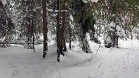 Att falla som är insnöat en vinter, parkerar med snö täckte träd Vinterskogen går arkivfilmer