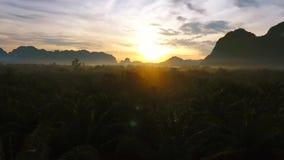 Att flyga över gömma i handflatan oljaträdkolonin under soluppgång Flyg- sikt för HD-fågelöga thailand stock video